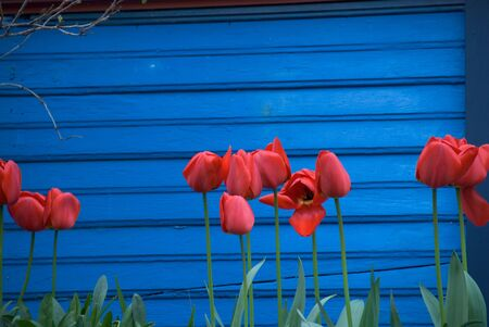 Red tulips on a deep red background. Stok Fotoğraf