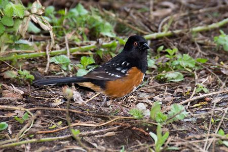 A spotted towhee (Pipilo maculatus) forages on the forest floor. Stock Photo