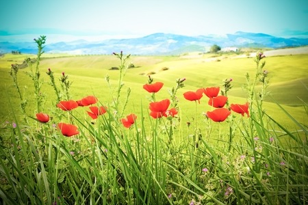 field with green grass and red poppies against the sky with clouds,vintage style photo