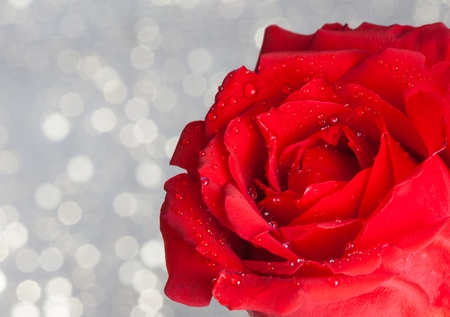red rose bokeh: red rose with drops on silver bokeh background, valentine day and love concept
