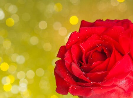 red rose bokeh: red rose with drops on golden bokeh background, valentine day and love concept Stock Photo