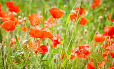 detail of red poppy on field with green grass and red poppies photo