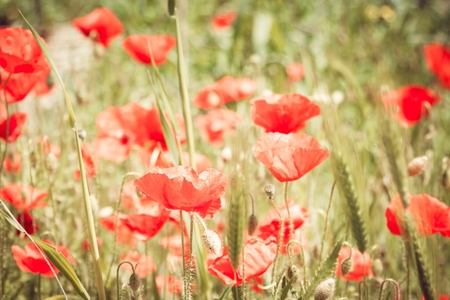 field with green grass and red poppies photo