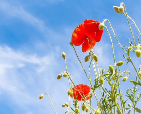 detail of red poppy under blue sky photo
