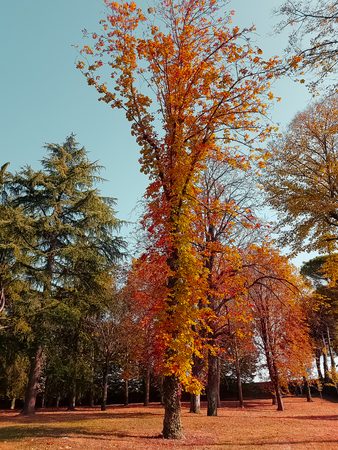 forest trees and colorful yellow and red autumn leaves at daylight sky with sun flare rays flying through forest on nature background, concept of nature