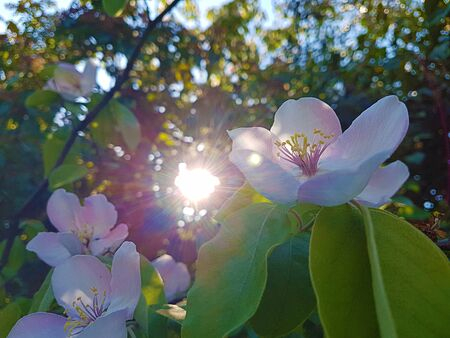 spring tree with pink flowers almond blossom on a branch background, on sunset sky with daily light with sun flare lens Stok Fotoğraf