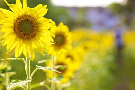 sunflower lanscape