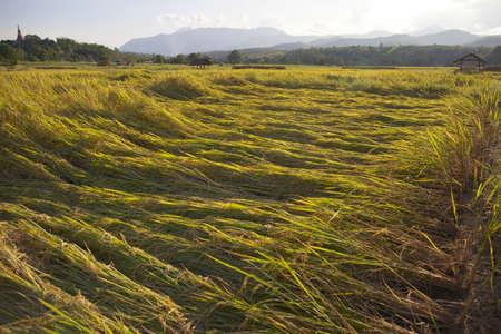 damaged rice field photo