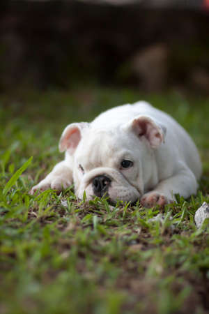 bulldog puppy sitting outside photo