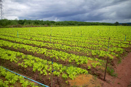 Vegetable farming. photo