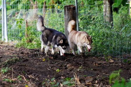 Dog breed Siberian. photo