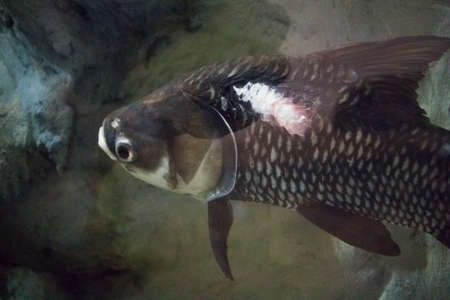 lesions: Fish with lesions Stock Photo