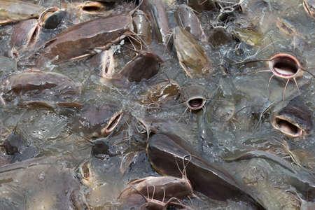 pisciculture: Eat fish swarm