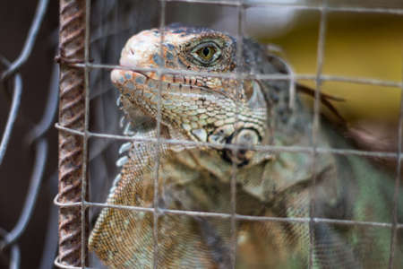 Iguana in a cage photo