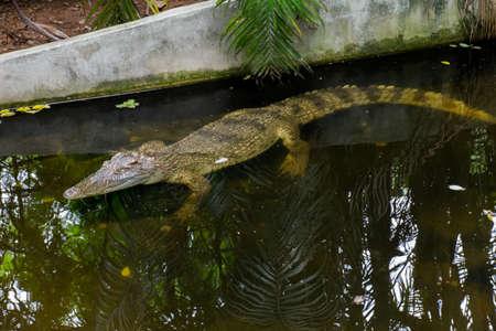 Crocodile in the farm Stock Photo