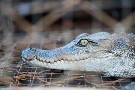 niloticus: the Crocodile