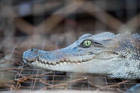 alligator eyes: the Crocodile