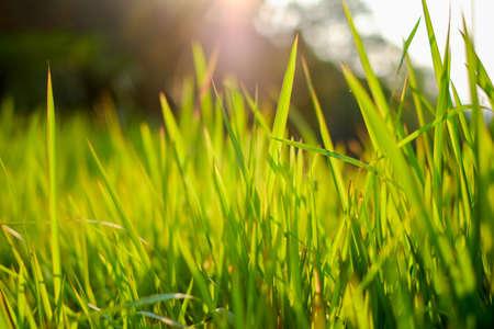 prairie: Prairie grass