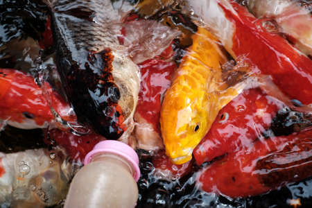 Koi fish in the pool eating food 免版税图像