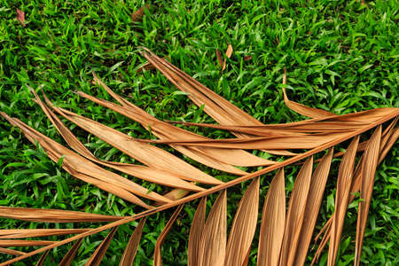 dry coconut leaf on green grass