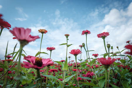 a sea of flower Cosmos flower low angle view