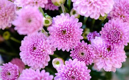 Bright autumn pink color chrysanthemum flowers background Foto de archivo - 137887713