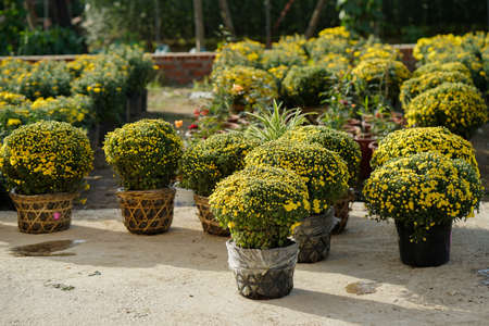 many bunches of hard garden mum stock photo 94375345 - Garden Mum