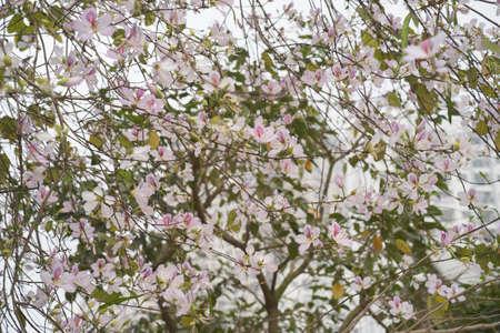 Beautiful bauhinia variegata flowers in blooming season Stock Photo