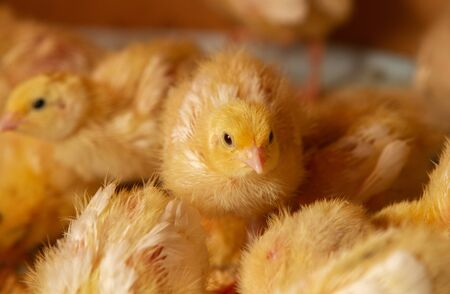 Indoor chicken farm, chicken feeding, broiler chicken feeding, feeding and keeping quail chickens