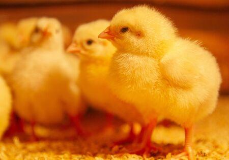 Indoor chicken farm, chicken feeding, broiler chicken feeding