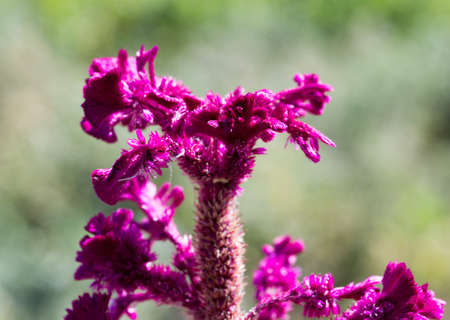 lint: Celosia Cristata .Red celosia flower, close-up and from the top side