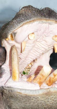 dangerous love: hippopotamus opens his mouth in a zoo Stock Photo