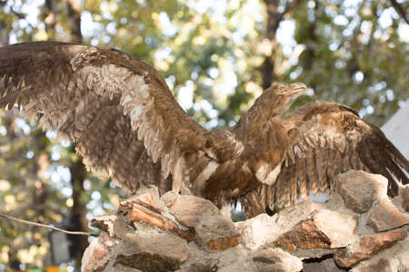 bird of prey: Stuffed bird of prey with widely spread wings.A museum exhibit Stock Photo