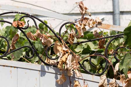 wine trade: dry grape leaves