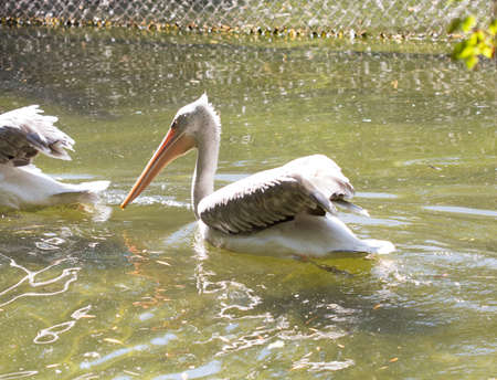 ludicrous: Young pink pelican playing with a piece of plastic