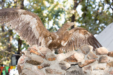 widely: Stuffed bird of prey with widely spread wings.A museum exhibit Stock Photo