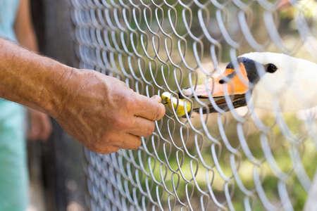 feeding through: man feeding geese in the zoo through a network