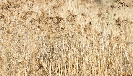 prickly: prickly dry grass Stock Photo