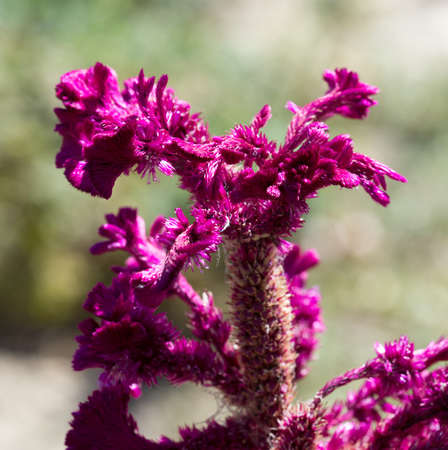 bracts large: Celosia Cristata .Red celosia flower, close-up and from the top side