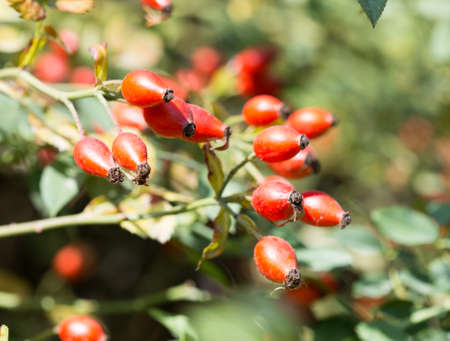 Dog rose,red bunch branch Rose hips, Different types Rosa canina hips in the garden with beautiful green nature bokeh lights Stock Photo