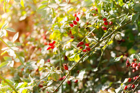 briar: Dog rose,red bunch branch Rose hips, Different types Rosa canina hips in the garden with beautiful green nature bokeh lights Stock Photo