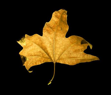 acer saccharum: golden maple leaves isolated on black background Stock Photo