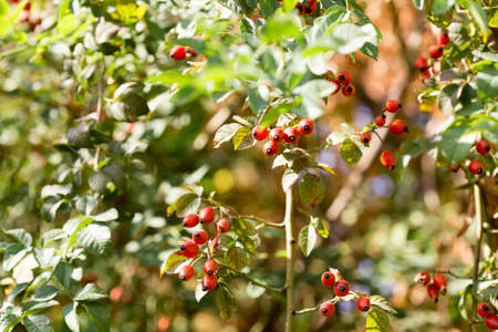 complementary: Dog rose,red bunch branch Rose hips, Different types Rosa canina hips in the garden with beautiful green nature bokeh lights Stock Photo