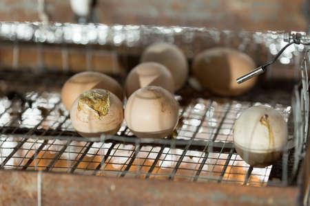Egg in the incubator