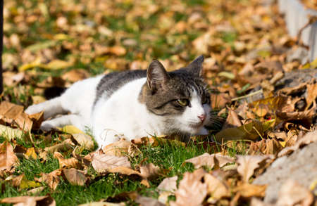 Cat in an autumn park. Cat sitting on the leaves Stock Photo