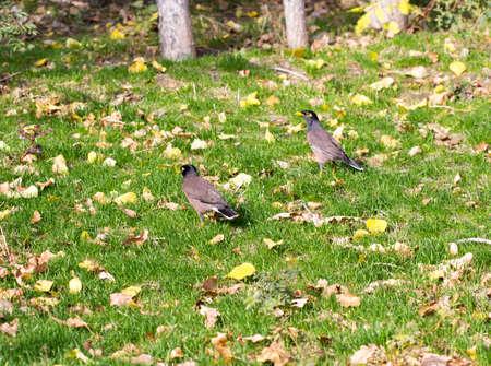 corvus: bird crow on the grass Stock Photo