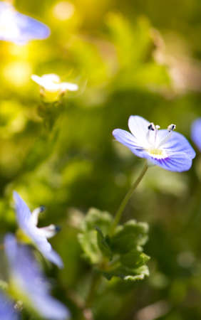 common blue: Hepatica flower Stock Photo