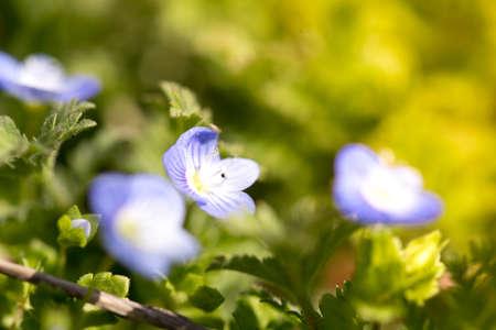 Hepatica flower Stock Photo