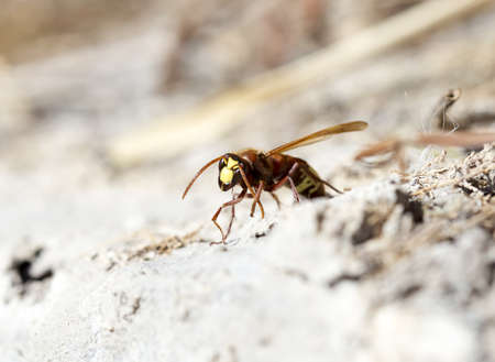 wasps eastern hornets Stock Photo