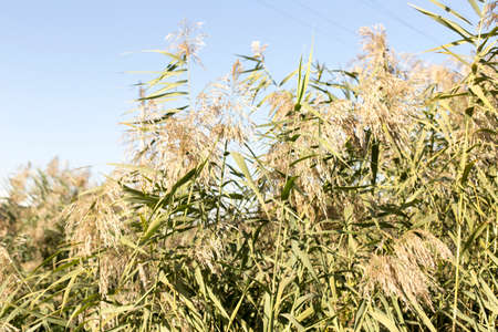 common reed: plant reeds on a creek Stock Photo